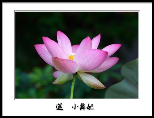 蓮小舞妃2