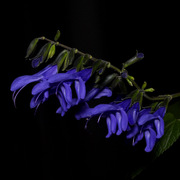 Blue_anise_sage