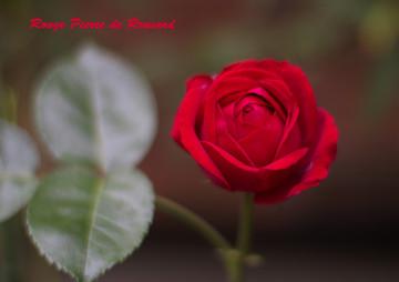 Rouge_pierre_de_ronsard