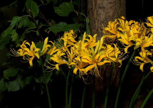 Golden_spider_lily_a_121003_193403