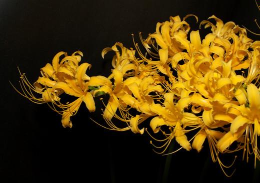 Golden_spider_lily_b_121004_184620