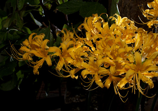 Golden_spider_lily_c_121004_191238