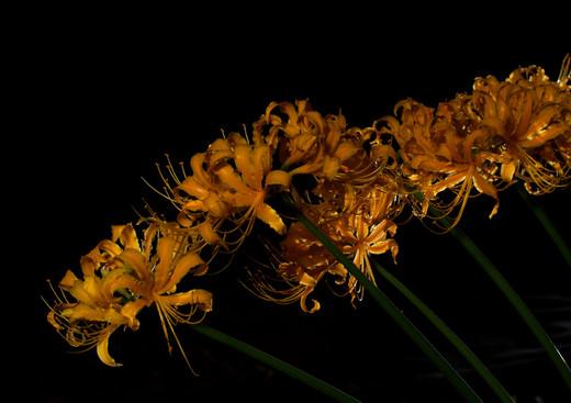 Golden_spider_lily_d_121005_194623