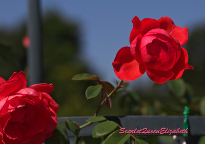 Scarletqueenelizabeth
